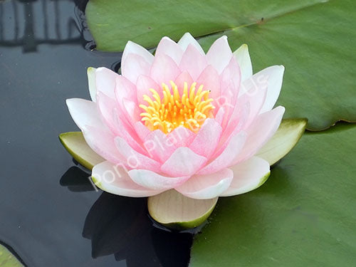 Nymphaea 'Hollandia' - Pink Hardy Water Lily