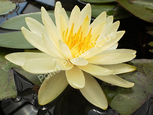 Nymphaea 'Inner Light' - Hardy Yellow Water Lily