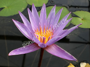Nymphaea 'Islamorada' - Purple Tropical Water Lily