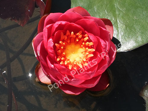 Nymphaea 'James Brydon' - Hardy Red Water Lily