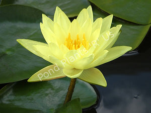 Yellow Hardy Water Lily