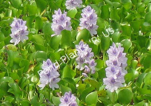 Jumbo Water Hyacinth (Eichornia crassipes) - Floating Pond Plant