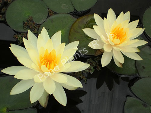 Nymphaea 'Lemon Mist' - Yellow Hardy Water Lily