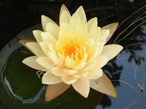 Nymphaea 'Mangkala Ubol'  - Peach / Orange Hardy Water Lily
