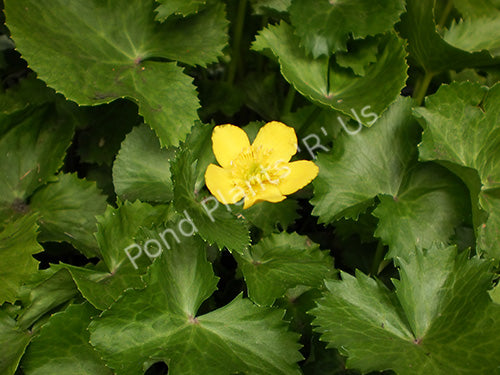 Marsh Marigold (Caltha palustris) - Hardy Pond Plants
