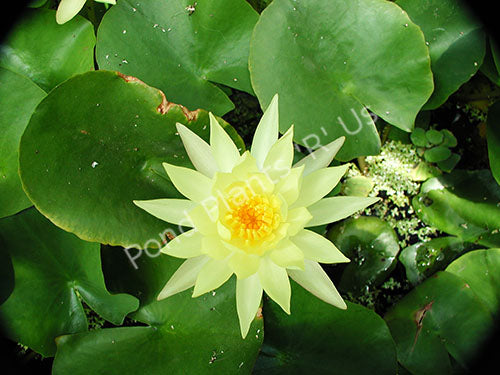 Nymphaea 'Mexicana' - Yellow Semi-Hardy Water Lily