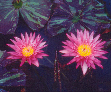 Nymphaea 'Miami Rose' - Pink Tropical Water Lily