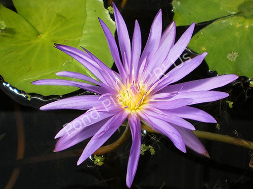 Nymphaea 'Midnight' - Purple Tropical Water Lily