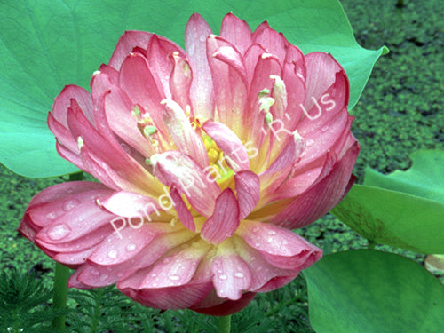Momo Botan Lotus - Medium Size Pink Hardy Water Lotus