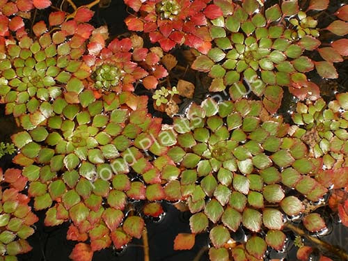 Mosaic Plant (Ludwigia sedioides) - Tropical Submerged Pond Plant