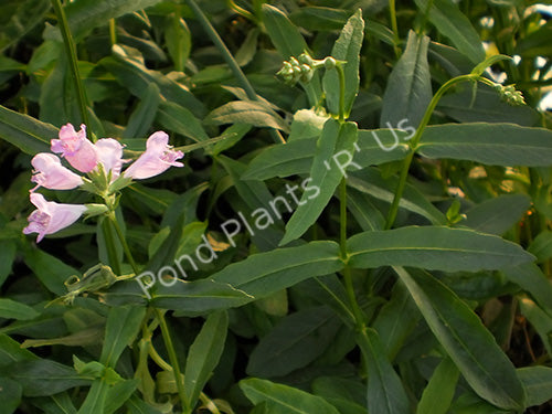 Obedient Plant (Physostegia virginiana) - Hardy Flowering Pond Plant