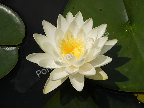 Nymphaea 'Odorata' - White Hardy Water Lily