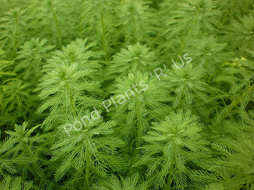 Parrots Feather (Myriophyllium aquatica)