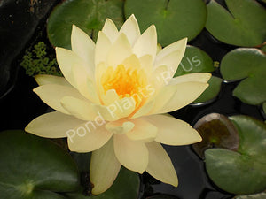 Nymphaea 'Peaches and Cream' - Creamy Peach Hardy Water Lily