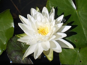 Nymphaea 'Perry's Double White' - White Hardy Water Lily