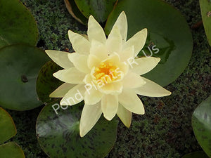 Nymphaea 'Perry's Double Yellow' - Hardy Yellow Water Lily
