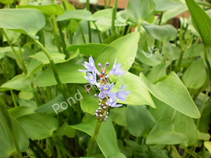 Pickerel Rush (Pontederia cordata) - Hardy Flowering Pond Plant