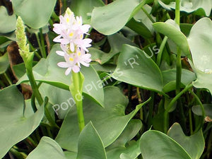 Pickerel Rush (Pontederia ssp. 'singapore pink')