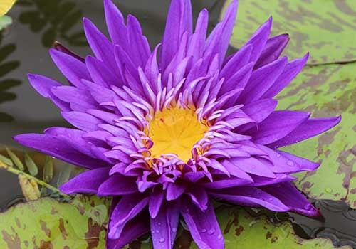 Plum Crazy - Award Winning Purple Tropical Water Lily