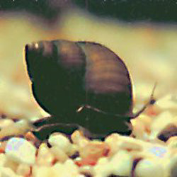 Japanese Trapdoor Pond Snails
