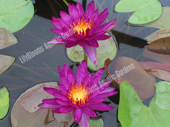 Nymphaea 'Purple Fantasy' - Hardy Purple Water Lily