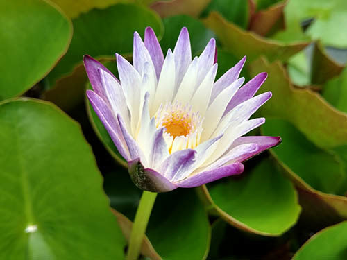 Nymphaea 'Purple Joy' - Tropical Purple White Water Lily