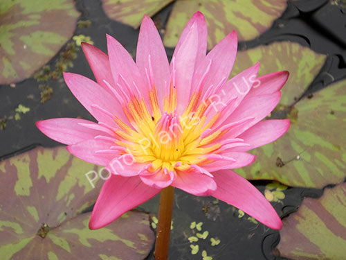 Nymphaea 'Queen of Siam' - Pink Tropical Water Lily