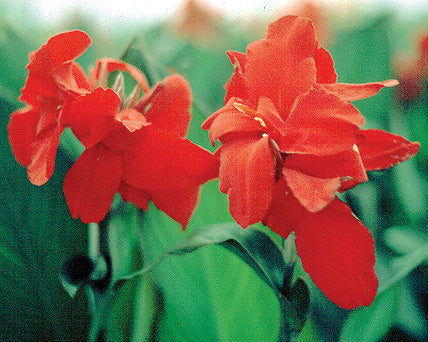 Red Dwarf Water Canna - Firebird - Tropical Bog Plant