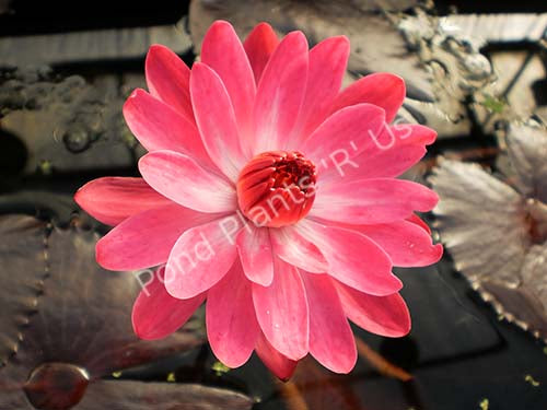 Nymphaea 'Red Flare' - Red Night Blooming Water Lily