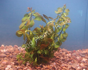 Red Ludwigia (Ludwigia Repens) - Submerged Oxygenating Pond Plants