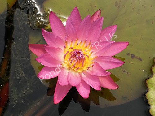 Ruby - Red Tropical Water Lily