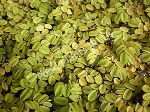 Salvinia (Salvinia minima) - Floating Pond Plants