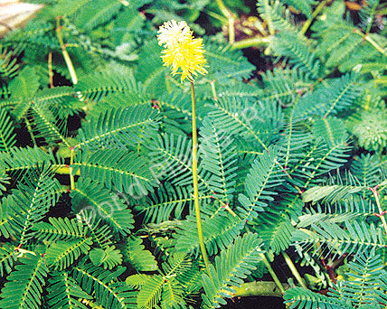 Sensitive Plant (Neptunia aquatica) - Floating Pond Plants