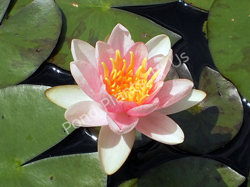 Nymphaea 'Shady Lady' - Pink Hardy Water Lily