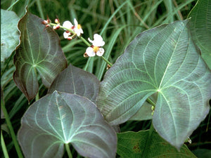"Silk Stockings Arrowhead (Sagittaria Australis ""Benni"")"