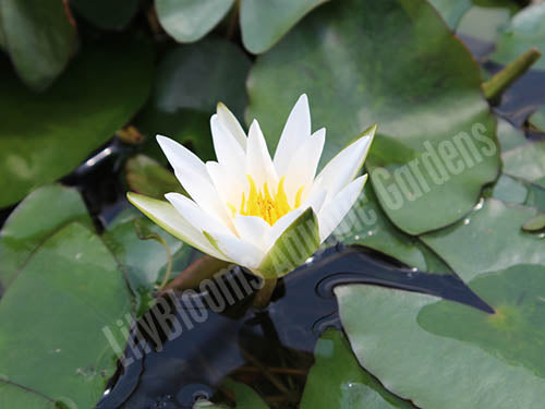 Nymphaea (Snow Princess) - Hardy Dwarf White Hardy Water Lily