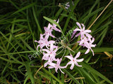 Society Garlic (Tulbaghia violacea) - Flowering Tropical Bog Plant