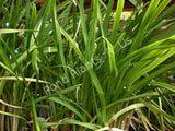 Society Garlic (Tulbaghia violacea) - leaves
