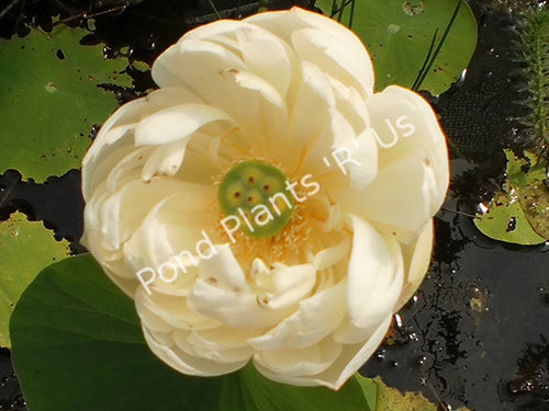 Spring Bird - Hardy White Water Lotus