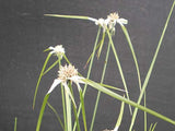 Star Grass (Dichromena colorata)