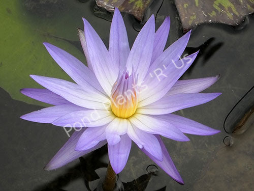 Nymphaea 'Star of Siam' - Blue Tropical Water Lily