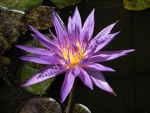 Star of Zanzibar - Award Winning Tropical Blue Water Lily