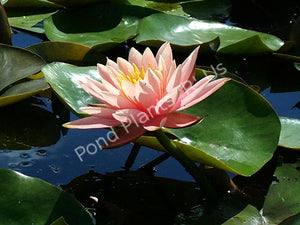 Nymphaea 'Sunny Pink' - Hardy Peach Water Lily
