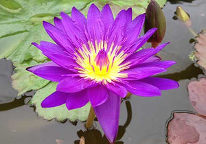 Tanzanite Purple Tropical Water Lily (Nymphaea 'Tanzanite' )