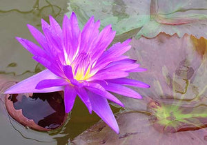 Ultra Violet (Nymphaea 'Ultra Violet') - Tropical Purple Water Lily