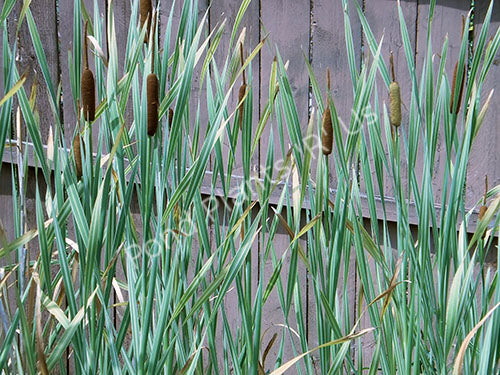 Variegated Cattail (Typha latifolia variegata) - Hardy Pond Plants
