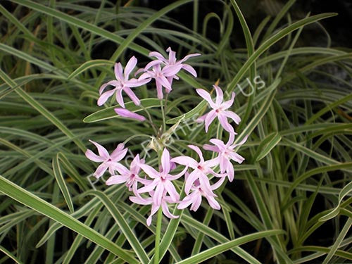 Variegated Society Garlic (Tulbaghia violacea var. 'Silver Lace') Flower