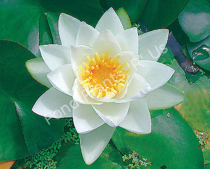 Nymphaea 'Virginalis' - White Hardy Water Lily