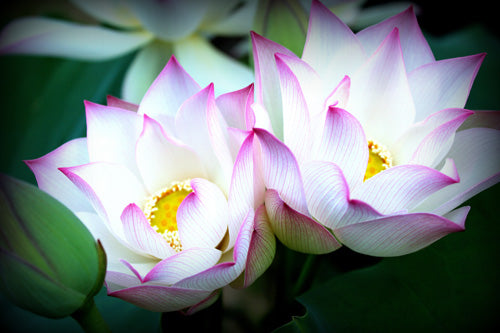 Wab-a-sabi Hardy Water Lotus - White with Pink Edging