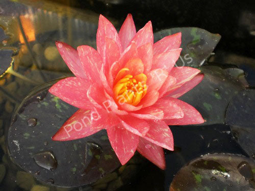 Nymphaea 'Wanvisa' - Peach Hardy Water Lily